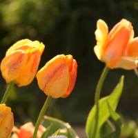 Peach-colored tulips